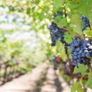 La vendimia en la produccion del vino
