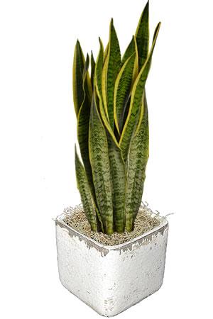 planta lengua tigre interior